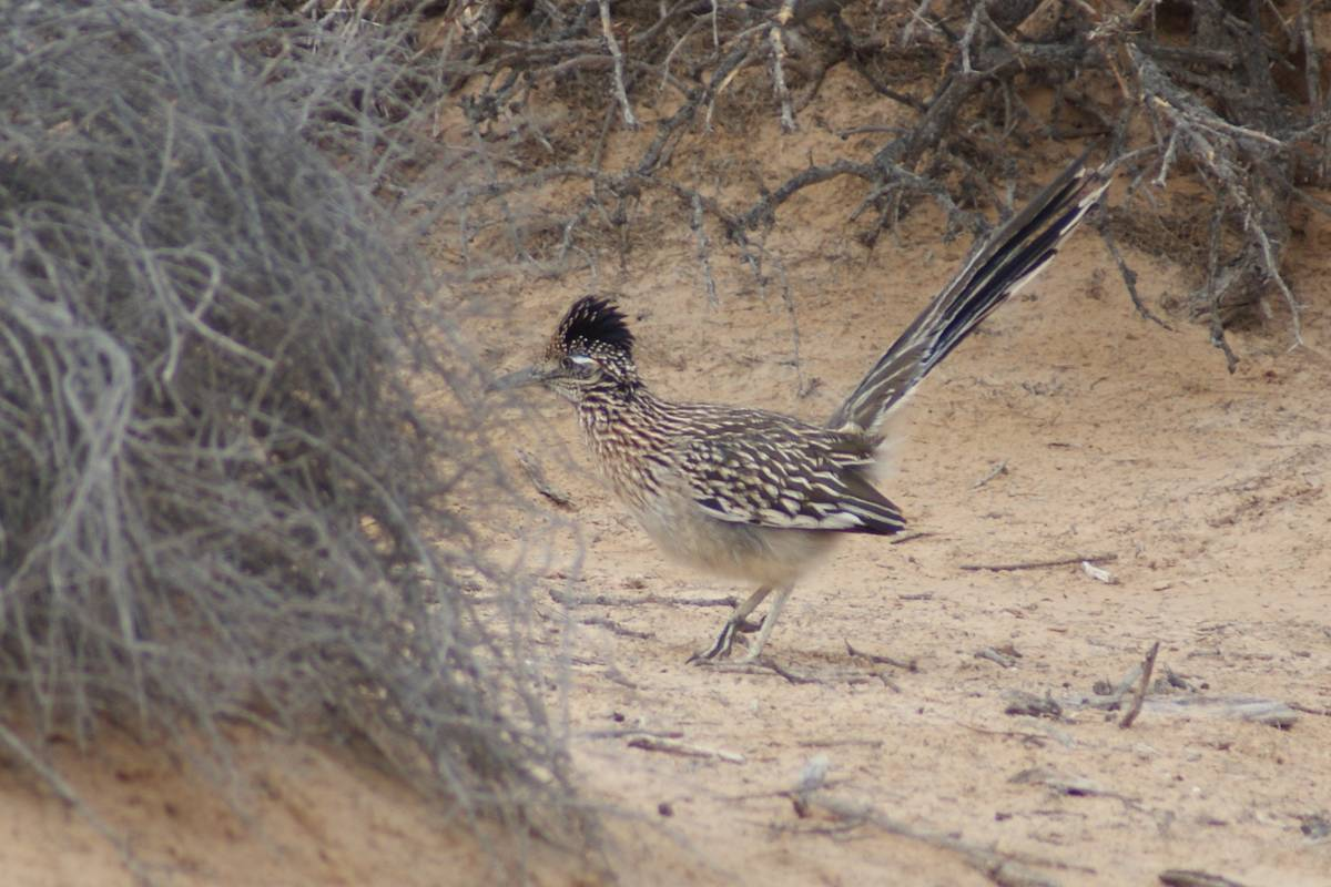 Greater roadrunner on the prowl for food Wednesday at Dunes Discovery Area of Sunset Park. (Nat ...