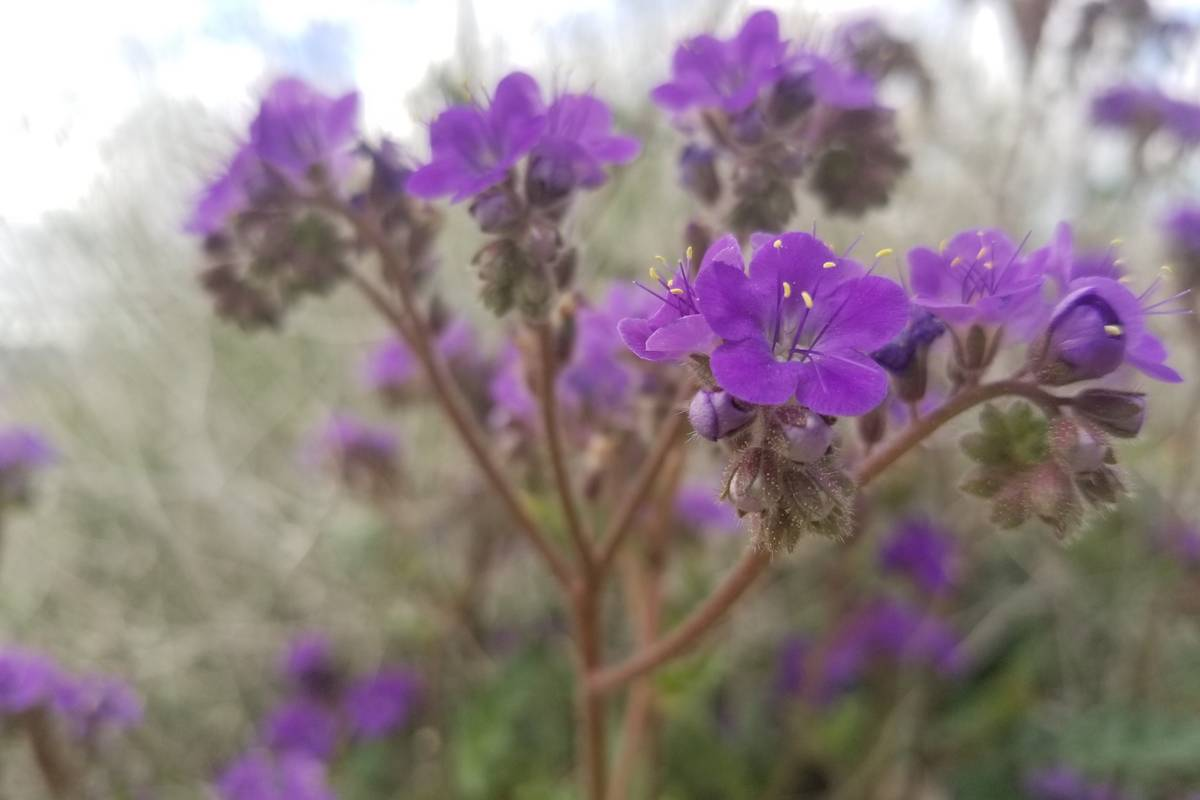 Many of the purple flowers seen at Lake Mead now, including those pictured here, are in the pha ...