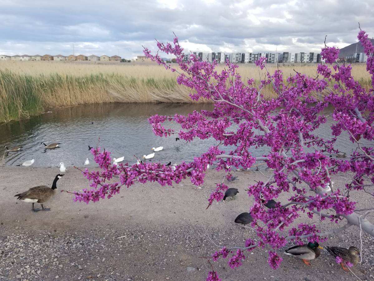 With a blooming western redbud blooming nearby, Canada geese, mallards, gulls and ducks forage ...