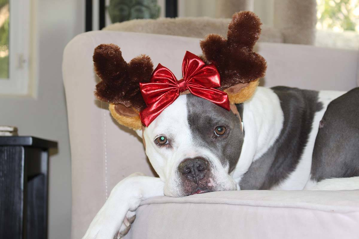 Patches found a home as part of The Animal Foundation's holiday foster program. (Stacey Smith)