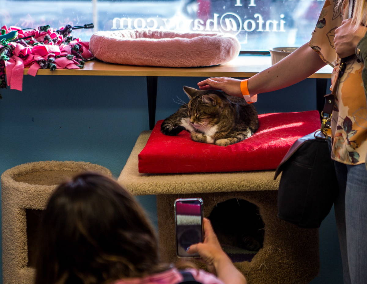 Visitors take photos and play with Mia the cat at a pop-up cat cafe at Hearts Alive Village in ...