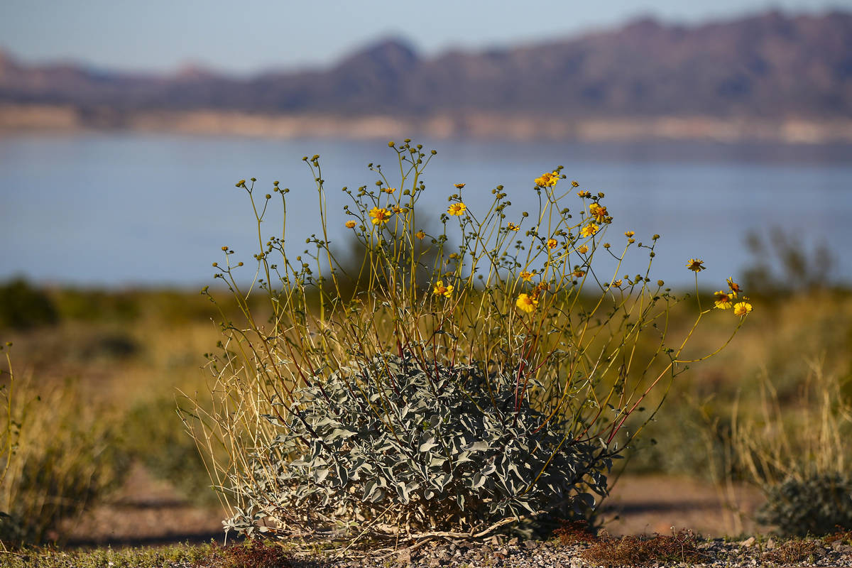 A view of wildflowers near Boulder Beach at Lake Mead National Recreation Area on Wednesday, Ma ...