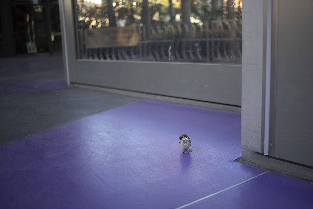 A lone bird hangs out in front of Cosmopolitan on the Strip on Tuesday, March 24, 2020, in Las ...