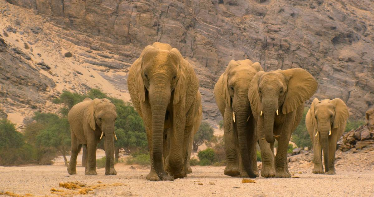 """An elephant leads her family through barren lands in Namibia in a scene from """"Our Planet."""" (Jam ..."""