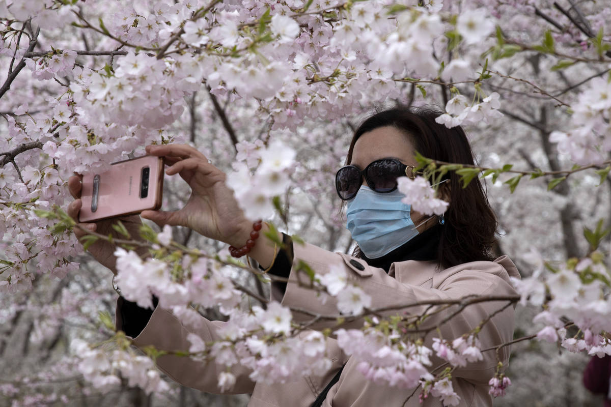 A woman wearing a mask takes photos of cherry blossoms at the Yuyuantan Park in Beijing on Thur ...