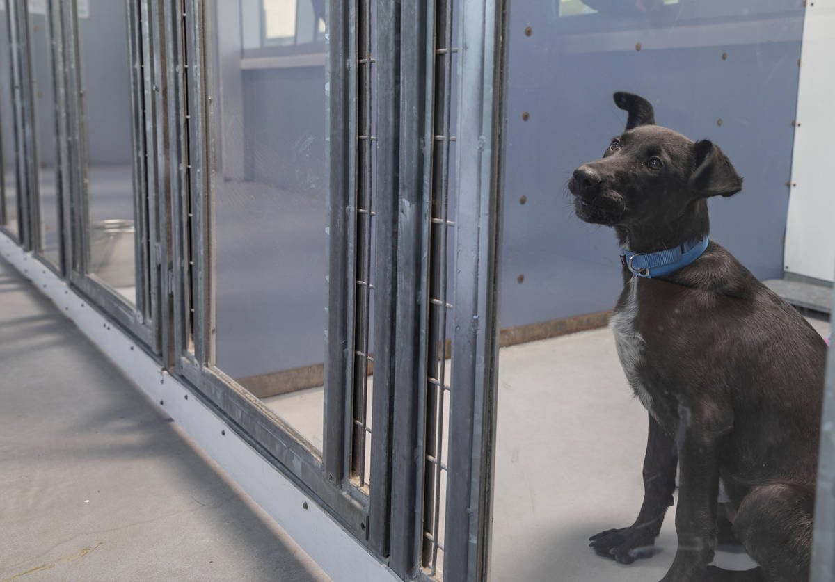Flint, a 4-month-old puppy available for adoption, is seen at The Animal Foundation in Las Vega ...