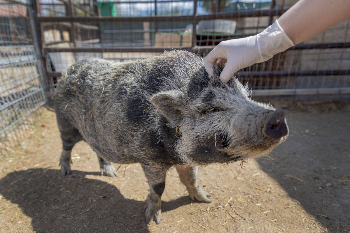 Nugget, a pig available for adoption, is pet at his large animal foster parent's home that part ...