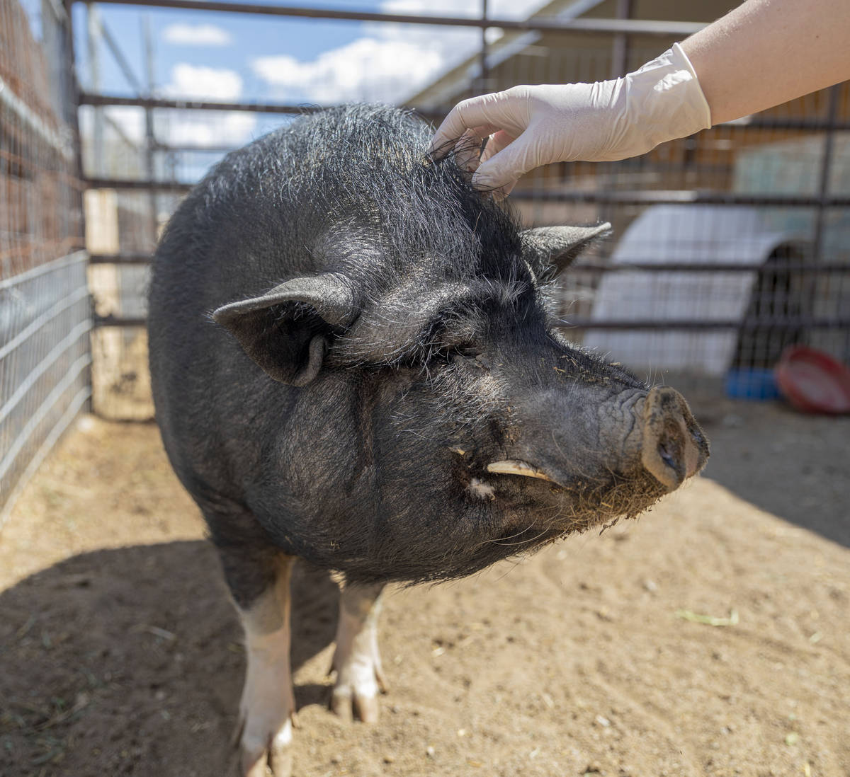Greg, a pig available for adoption, is pet at his large animal foster parent's home that partne ...