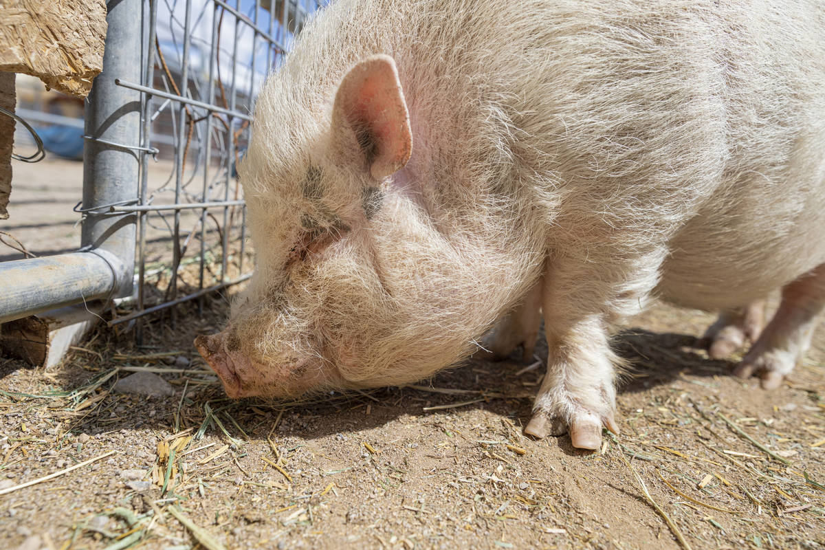 Arnold, a pig that is available for adoption is photographed at his large animal foster parent' ...