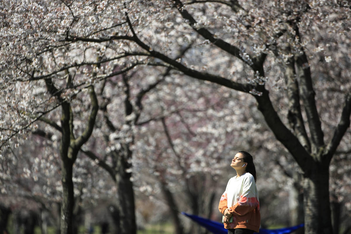 In a March 26, 2020, photo, a person takes in the afternoon sun amongst the cherry blossoms alo ...