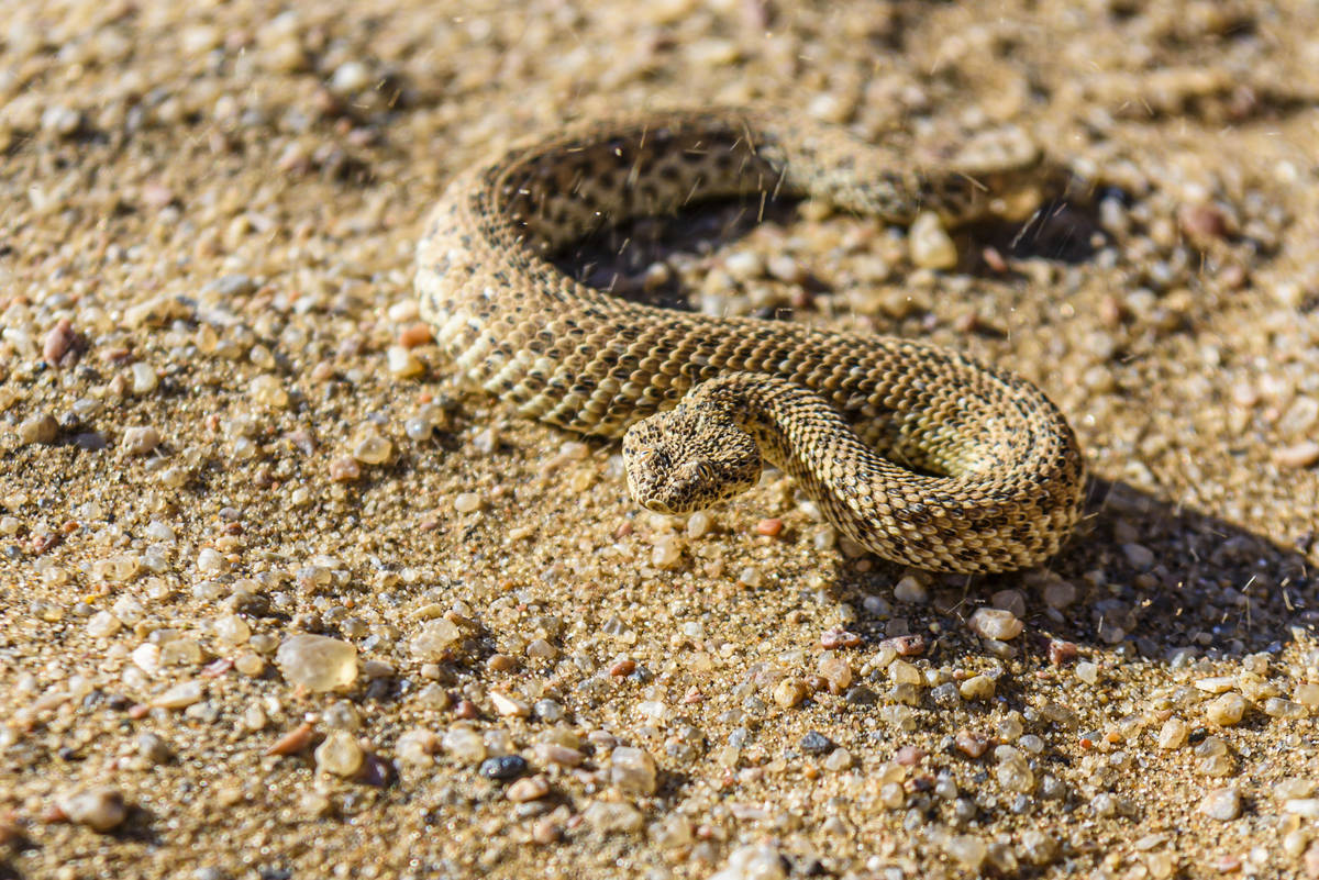 Sidewinder snake on a sand dune in the Namib desert, Namibia