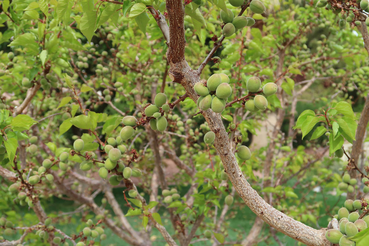 It is not uncommon for early apricots to set fruit first, followed shortly thereafter by leaf a ...