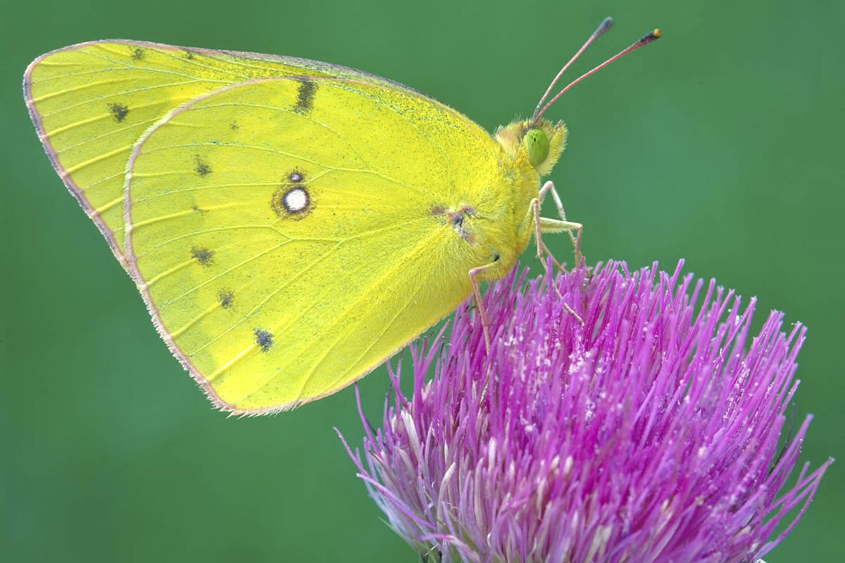 This undated photo provided by Michael Thomas in April 2020 shows a clouded sulphur butterfly i ...