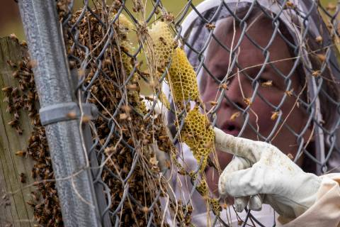 Beekeeper Sean Kennedy inspects a swarm of honey bees, Monday, April 20, 2020, in Washington. F ...