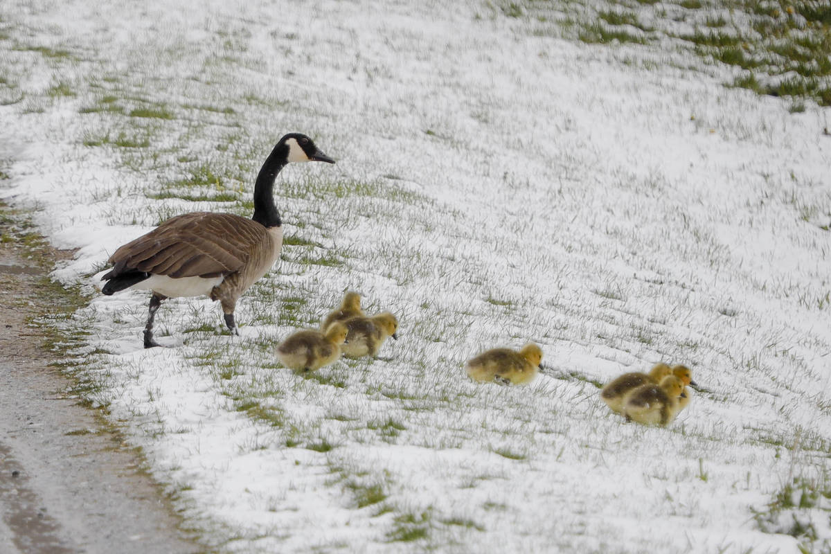 A family of Canada geese brave a snowy slope in Lanesborough, Mass., the morning after an unsea ...