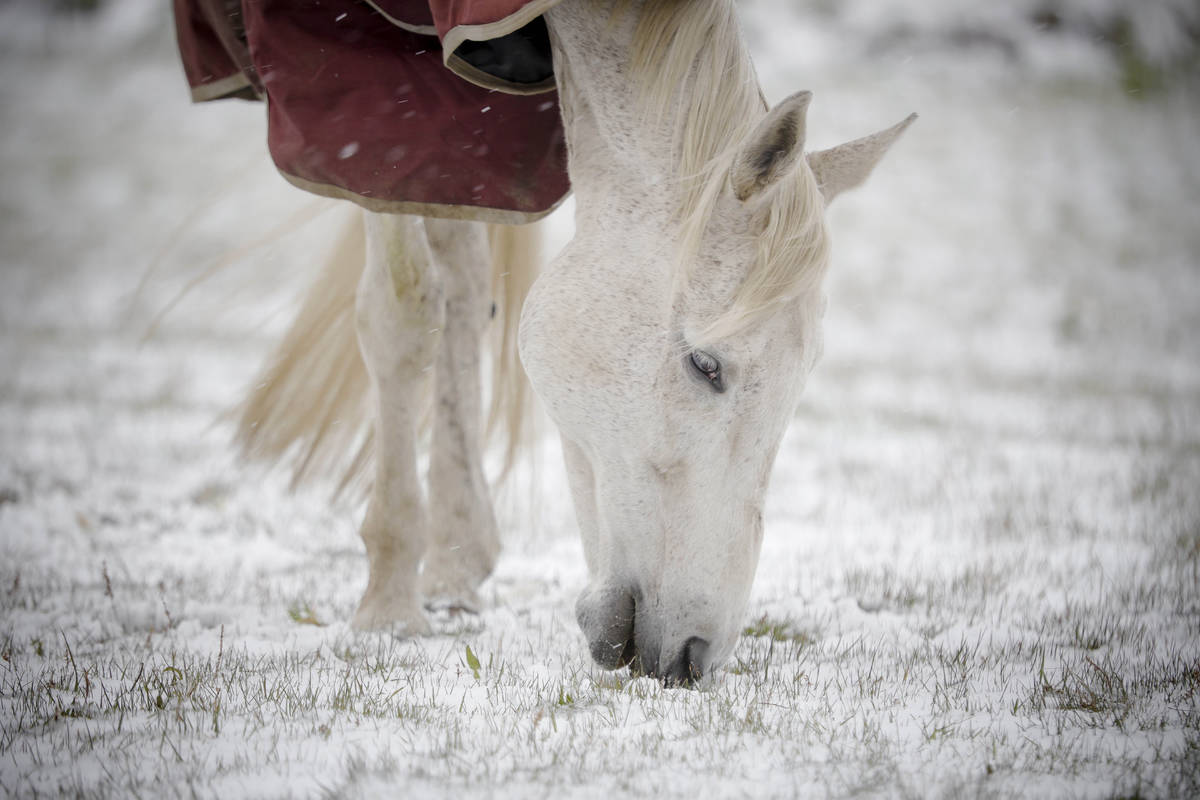 A horse grazes on new grass poking through the snow at Wedgewood Stables in Lanesborough, Mass. ...