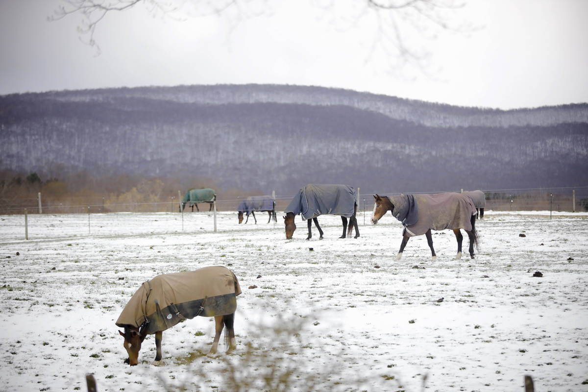 At Wedgewood Stables in Lanesborough, Mass., horses graze the pasture with their coats on after ...