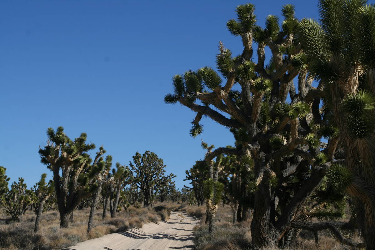 A healthy stand of Joshua trees flank a back road in the Mojave National Preserve in California ...