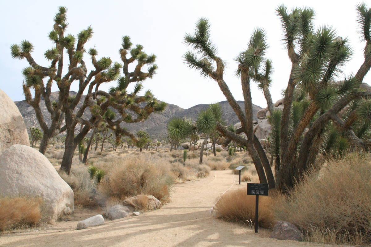 The Cap Rock Nature Trail in Joshua Tree National Park, California. (Deborah Wall Las Vegas Rev ...