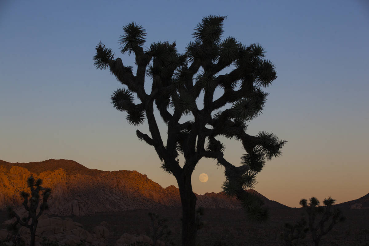 The moon rises, as shown through a silhouetted Joshua tree, at Joshua Tree National Park outsid ...