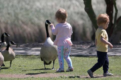 Lany Boustany, 2, feeds a Canada goose as her 18-month-old friend, Fox Webb, walks away at Corn ...