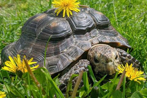 In this Wednesday, May 20, 2020, a 53-year-old tortoise named Ms. Jennifer stands among dandeli ...