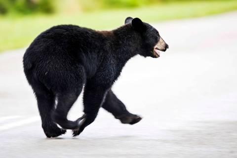 A juvenile black bear roams through Fort Myers, Fla., Tuesday morning, May 26, 2020. The bear w ...