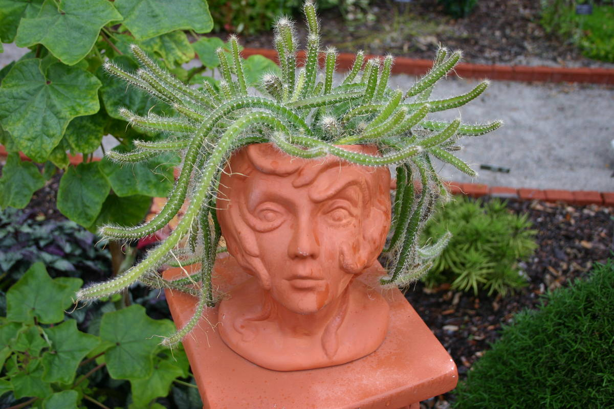 """A tangle of rat tail cactus springs from the head of a terra cotta planter. (Maurice """"M.L."""" ..."""