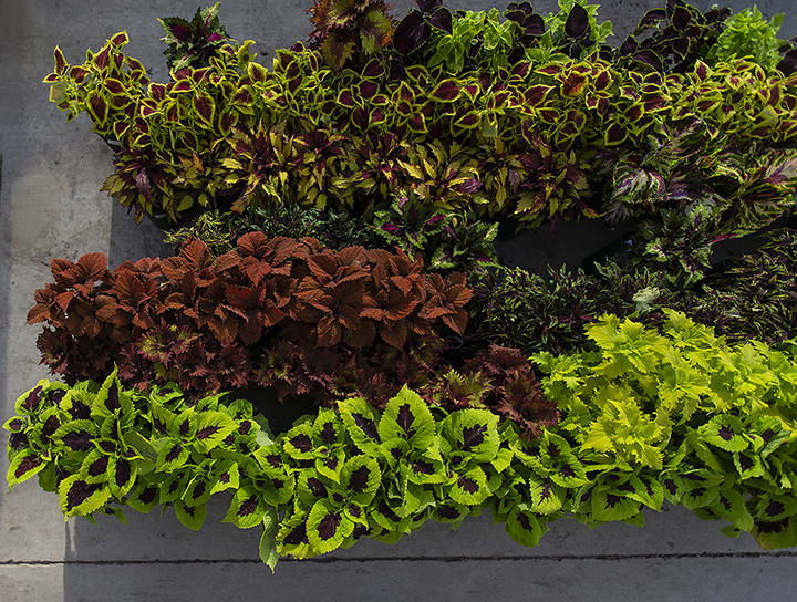 Colorful coleus varieties are a great complement to container gardens. (Benjamin Hager/Las Vega ...