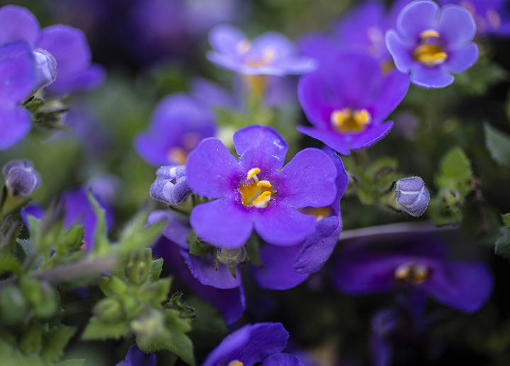 Million bells add color to container gardens. (Benjamin Hager/Las Vegas Review-Journal) @benja ...