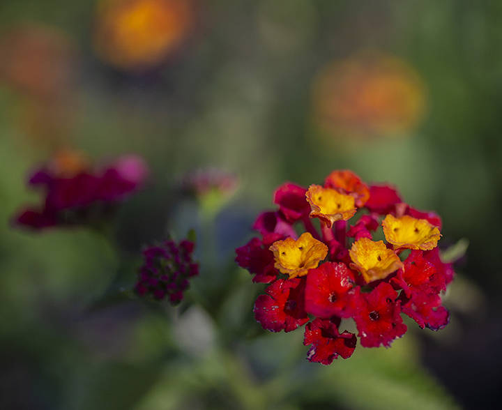 Lantana can add a pop of color to container gardens. (Benjamin Hager/Las Vegas Review-Journal) ...