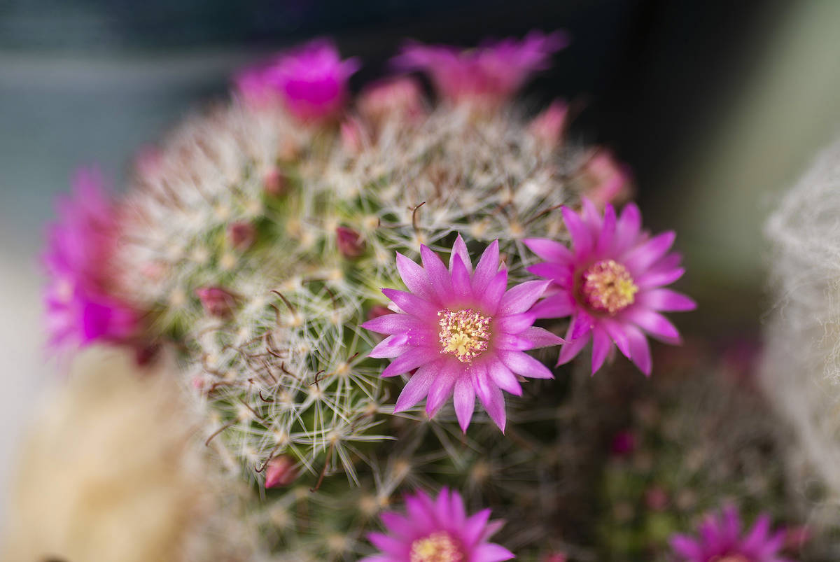 Delicate pink blooms pop each spring from a small succulent commonly known as a powder puff cac ...
