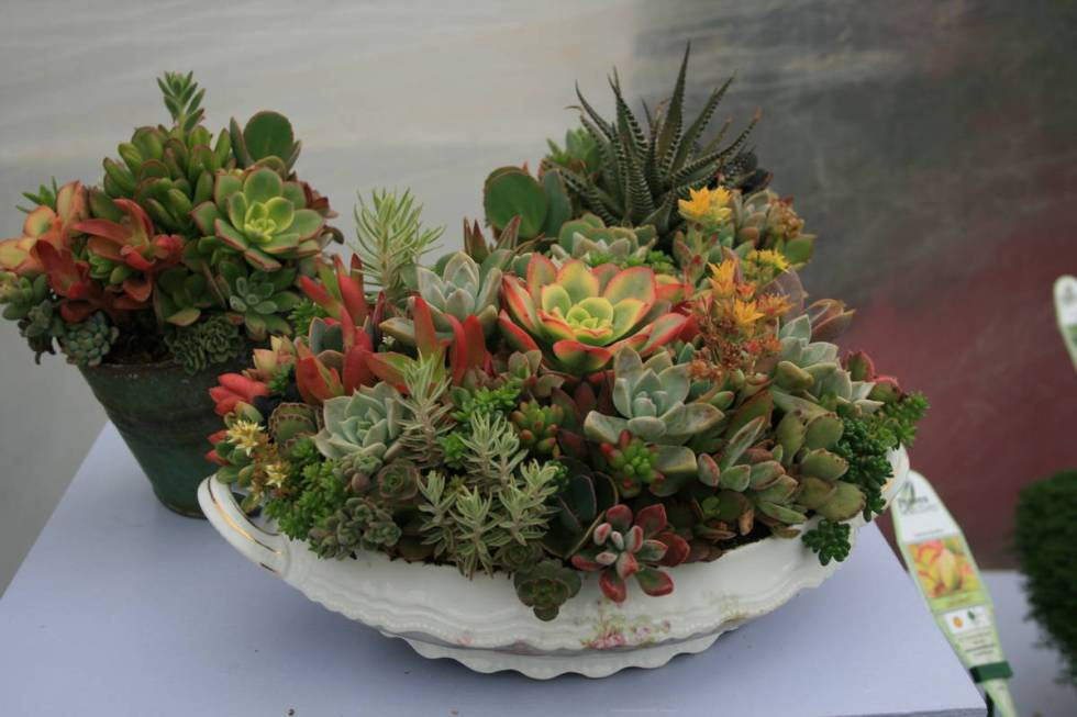"Succulents show off their sculptural beauty in containers. (Maurice ""M.L."" Robinson)"