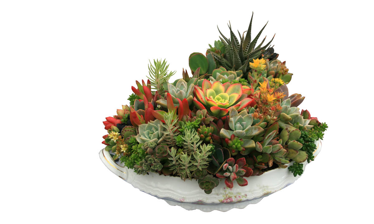 """Succulents show off their sculptural beauty in containers. (Maurice """"M.L."""" Robinson)"""