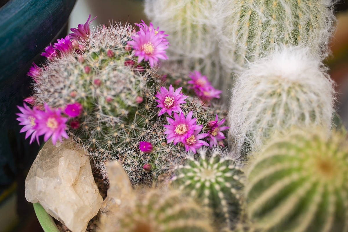 Blooms pop each spring from a succulent commonly known as a powder puff cactus. Cacti and succu ...