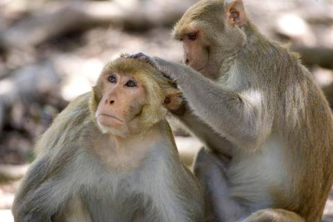 In a July 29, 2008, file photo, a rhesus macaque monkey grooms another on Cayo Santiago, known ...