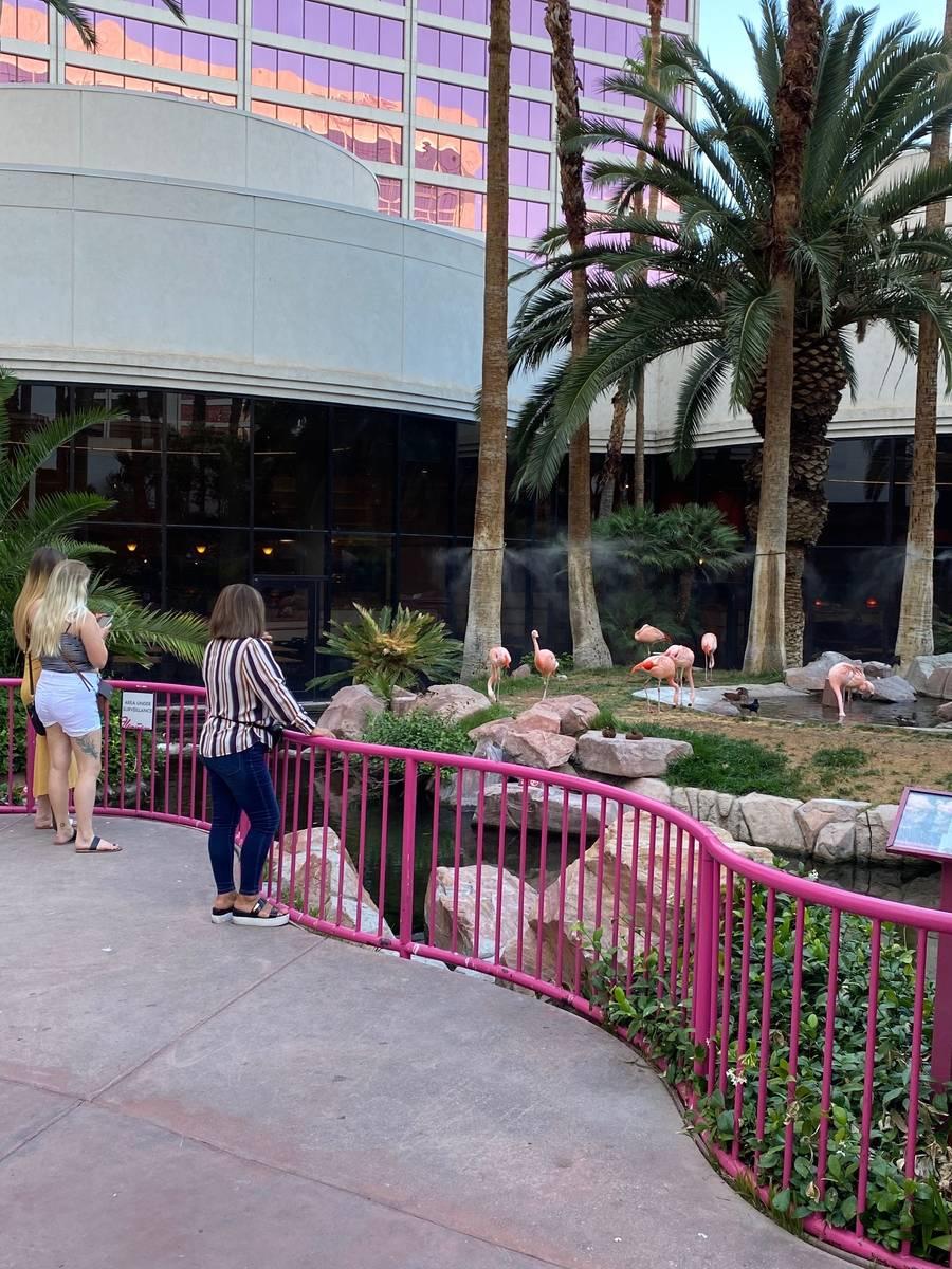 Visitors to the Flamingo Thursday enjoyed its namesake birds. (Al Mancini)