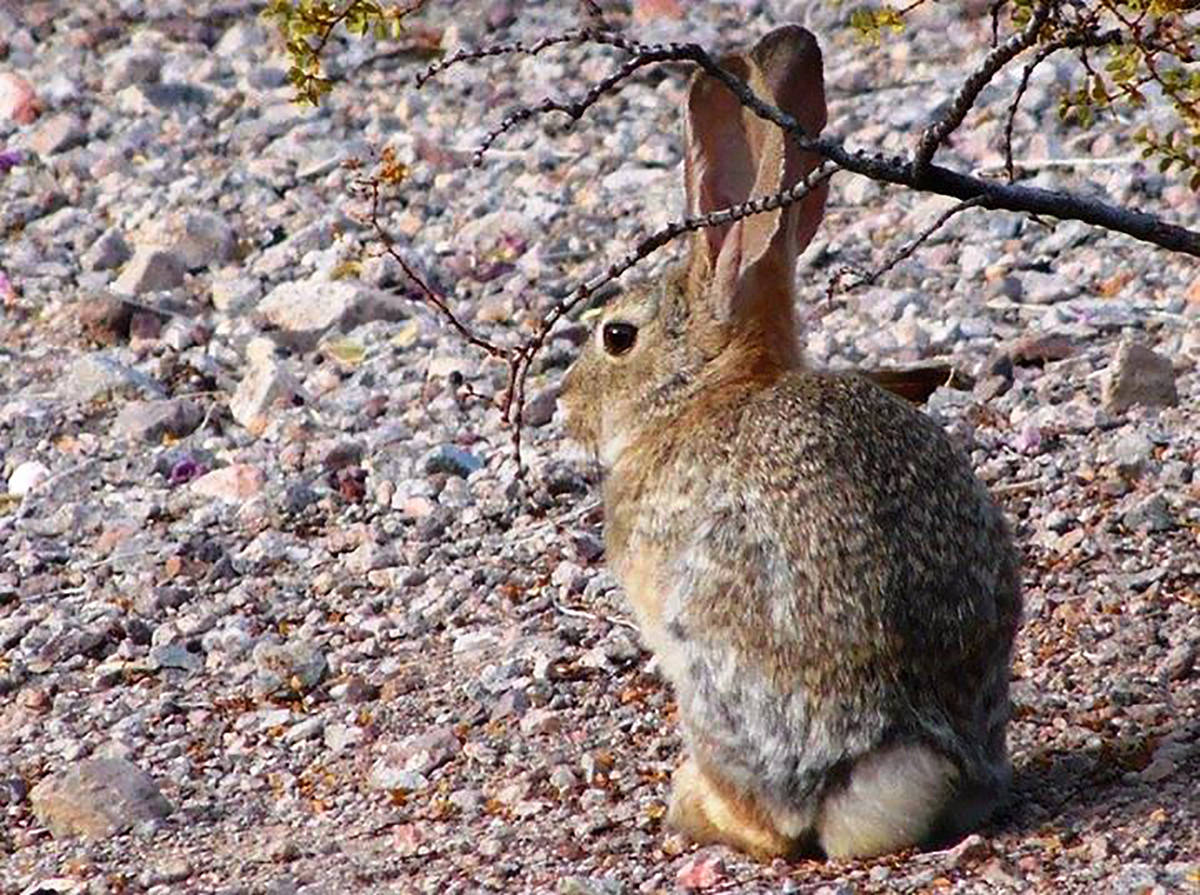 Desert cottontails often are seen eating plants early in the morning. (Natalie Burt)