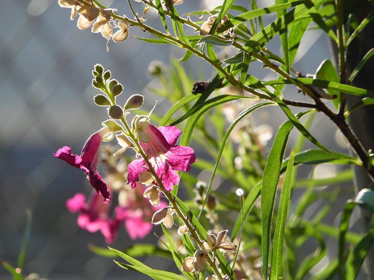 Desert willow blooms are a hummingbird favorite. (Natalie Burt)