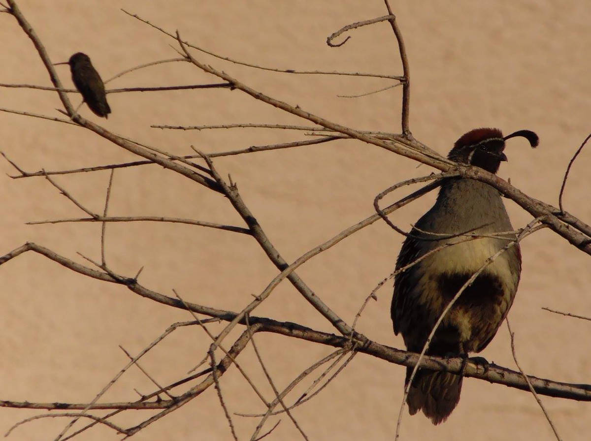 The Henderson odd couple of a Gambel's quail and hummingbird spotted together on Legacy Village ...
