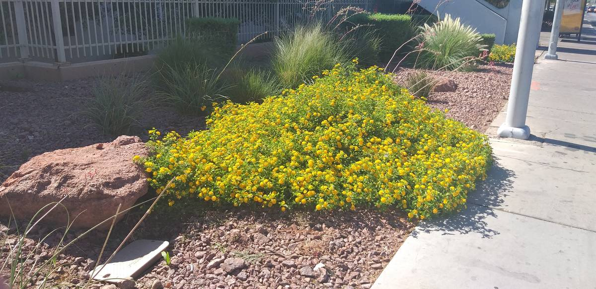 Lantana adds a variety of easy-to-grow colors that attract wildlife including butterflies to ho ...