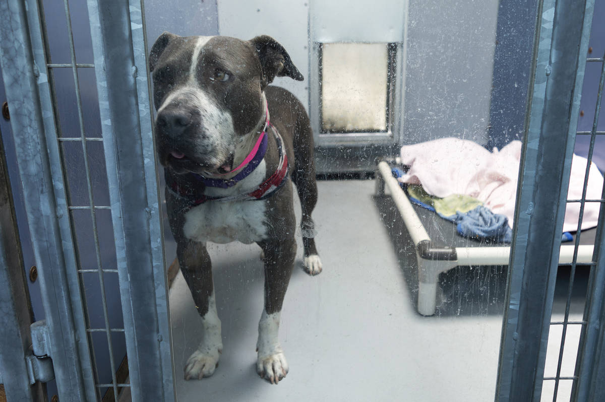 Betty awaiting adoption in her kennel at The Animal Foundation. Las Vegas, July 7, 2020. (Janne ...