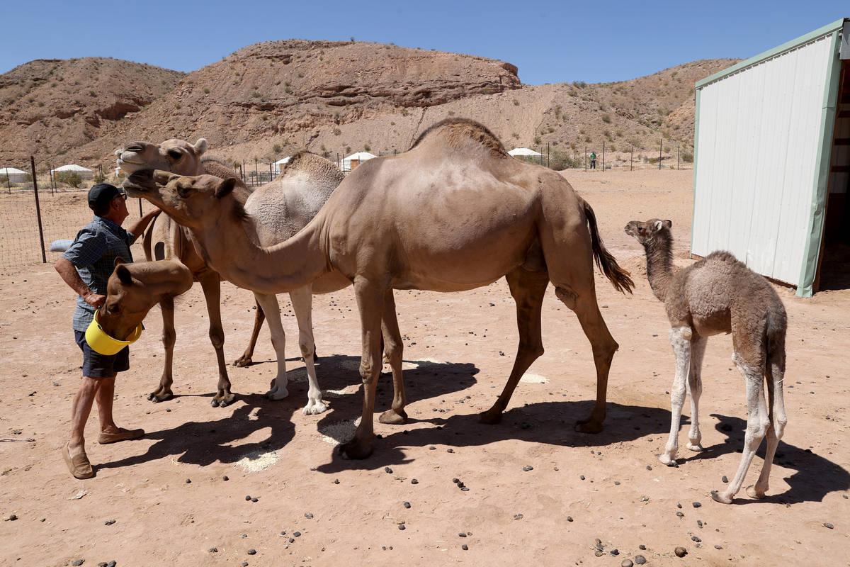 Baby camel Darlene, who was born Friday, June 26, roams Camel Safari in Bunkerville as owner Gu ...