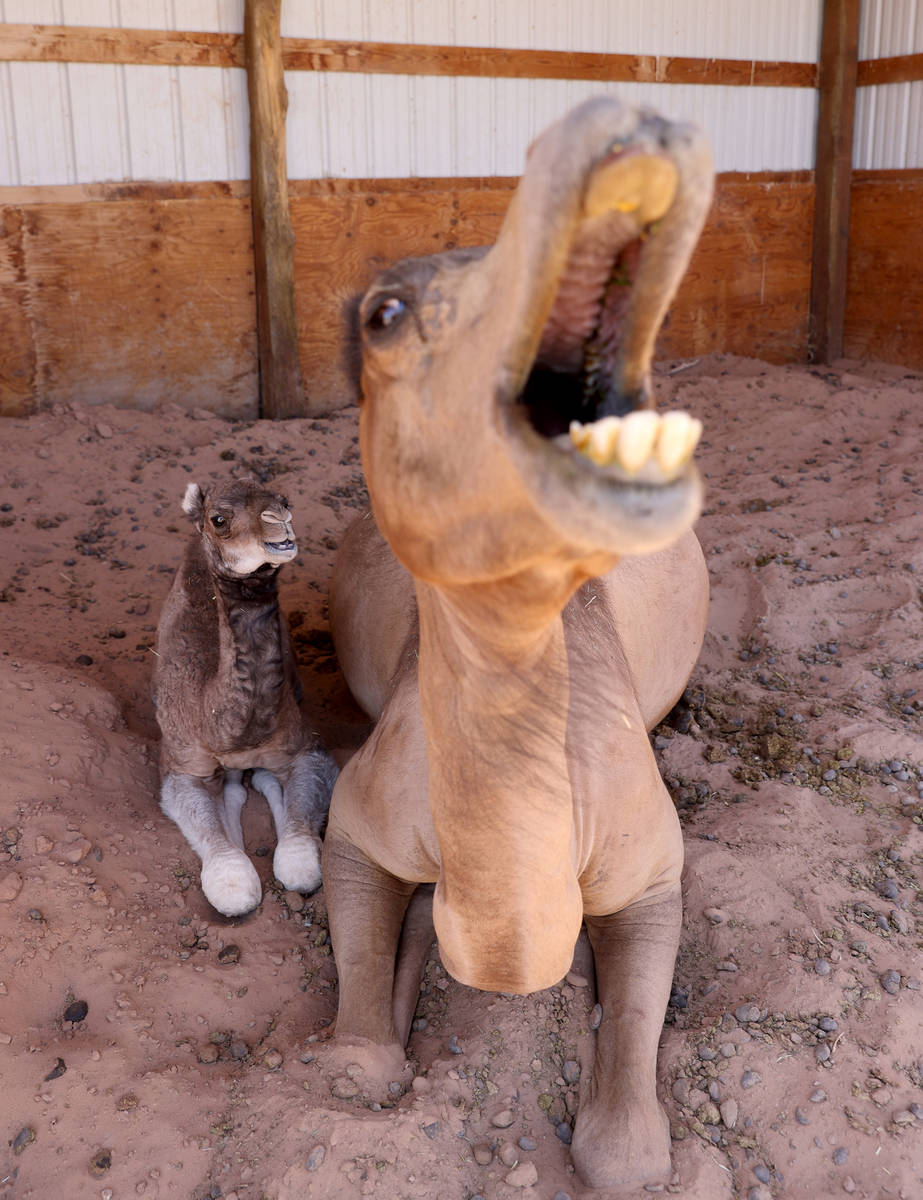 Baby camel Darlene, who was born Friday, June 26, snuggles with her mother Pebbles at Camel Saf ...