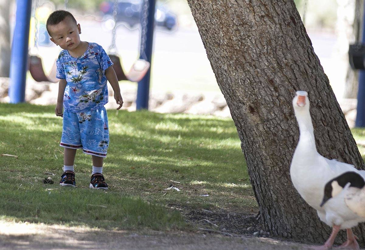 Darren Li, 2, takes a closer look at geese as they walk past him at Sunset Park on Wednesday, J ...