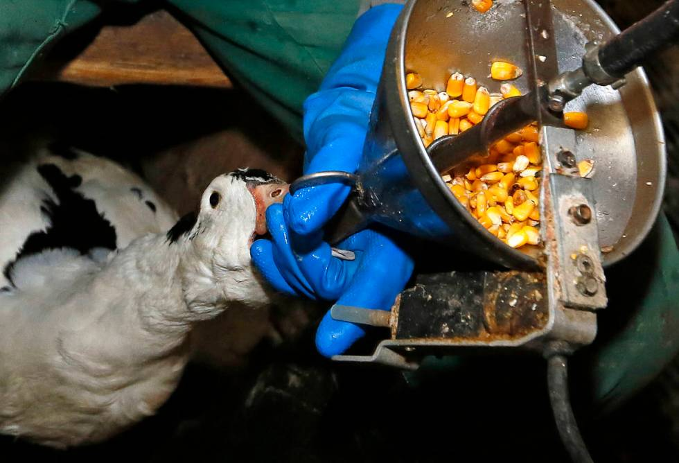FILE - In this Dec. 8, 2016, file photo, foie gras producer Robin Arribit force-feeds a duck wi ...