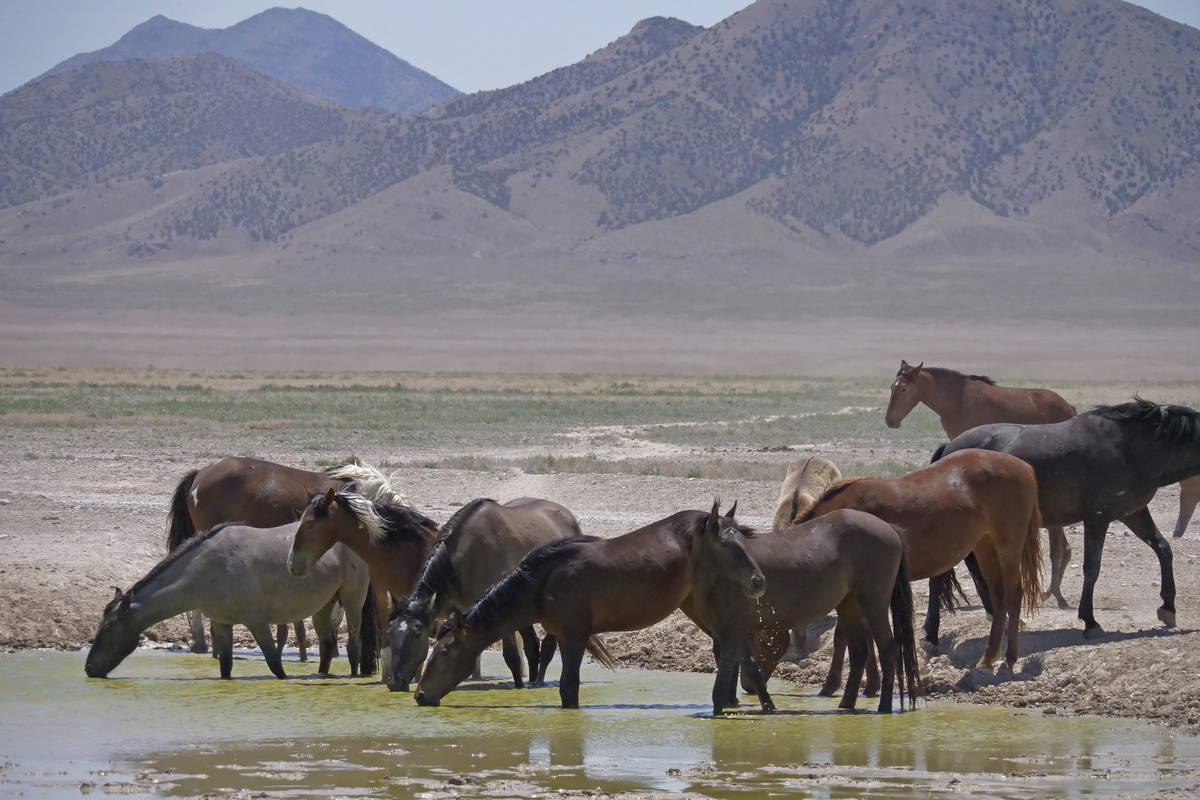 FILE - In this June 29, 2018 file photo, wild horses drink from a watering hole outside Salt La ...