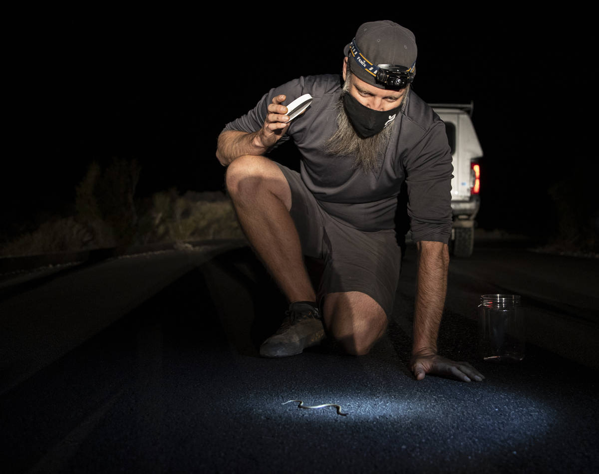Jason Jones, Nevada's state herpetologist, observes a night snake during a species survey at Re ...