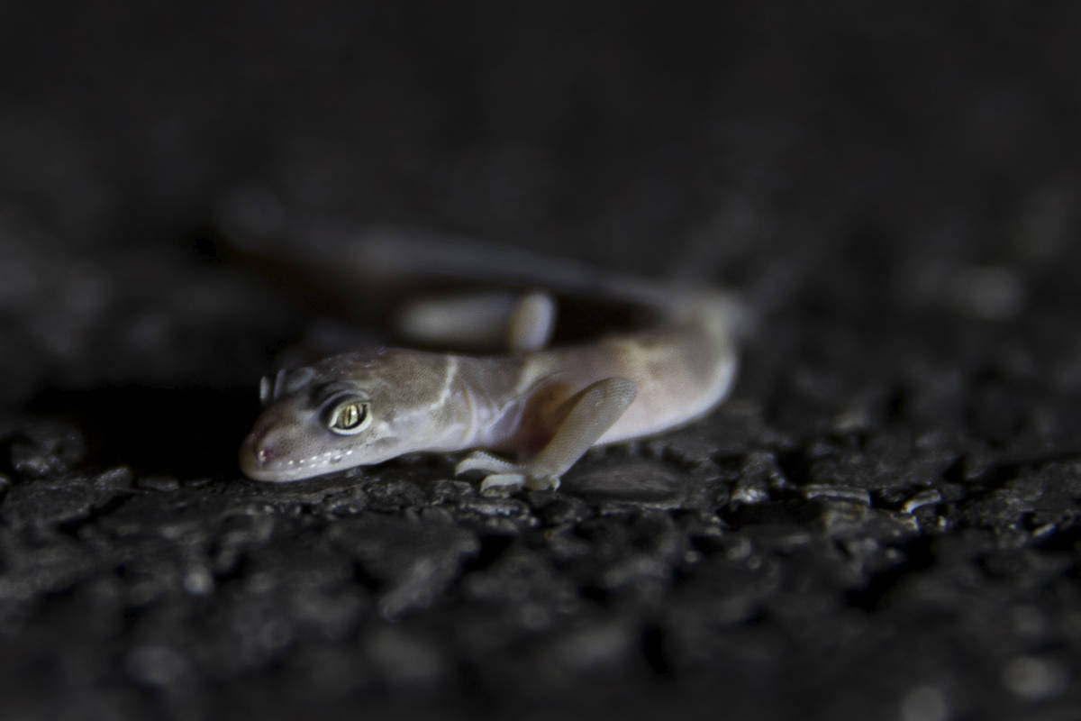 A gecko is collected and documented during a species survey at Red Rock Canyon National Conserv ...