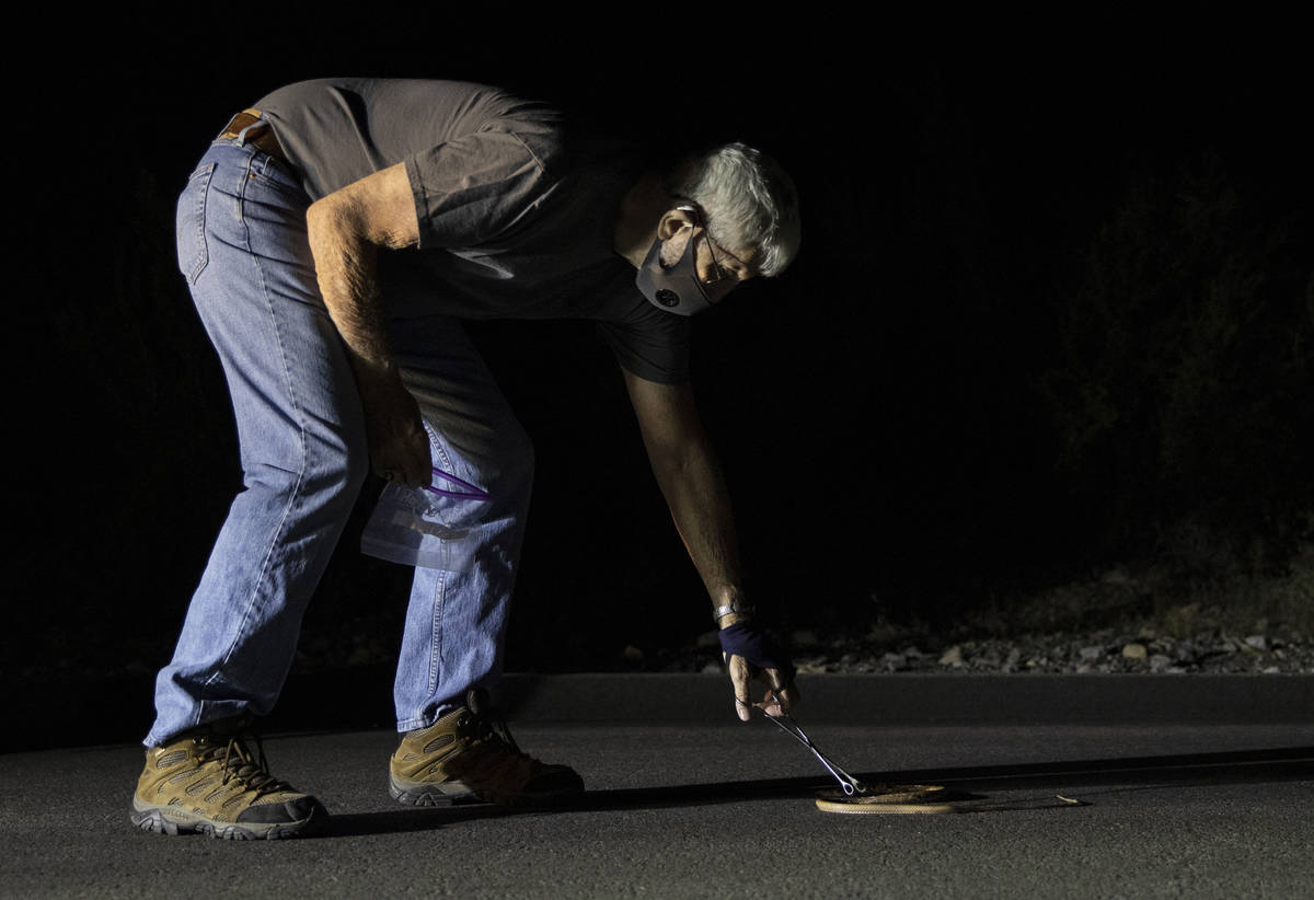 Bob McKeever collects a coach whip snake during a species survey at Red Rock Canyon National Co ...